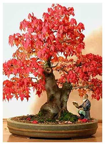 Tropica - Bonsai - Rotahorn (Acer rubrum) - 20 Samen