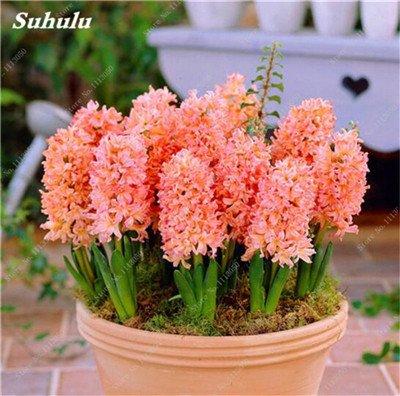 Livraison gratuite Parfum Pas Cher Graines jacinthe, plantes en pot purifient l'air, PC de bureau Décor-100 Pcs Hyacinthus Orientalis Seed 3
