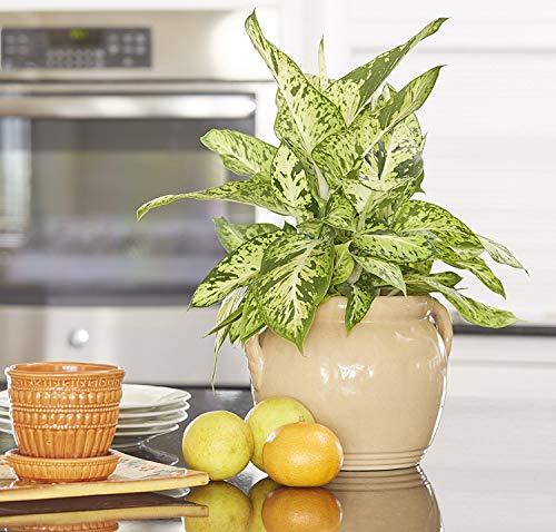 Costa农场哑甘蔗Dieffenbachia,活室内植物装饰包装,礼物,16到20英寸高