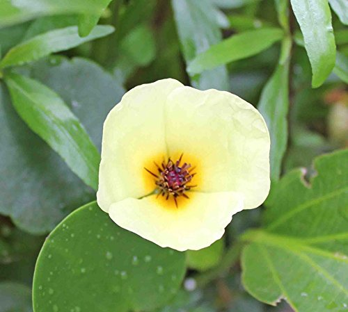 ウォーターポピー (1株) ◆花が咲く水草◆ 無農薬