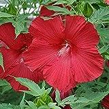10 Piezas Rojo Hibisco Semillas Invierno Resistente Arbusto Variedad Especial Semillas De Flores Heirloom Sin OMG Plantación Interior Al Aire Libre Fácil De Germinar Fuerte Adaptabilidad