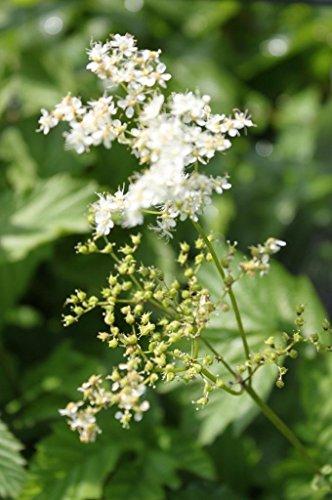 4er-Set im Gratis-Pflanzkorb - Filipendula ulmaria - winterhart - echtes Mädesüß - Wiesenkönigin, weiß - Landlust Pflanzentipp!