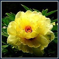 葉牡丹の球根*バルコニーの植栽,見事な信じられないほど優雅な花と家の花壇,あなたの庭で非常に明るい育成壮大な色直立した花