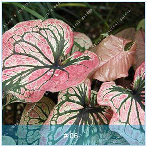 SANHOC 100 PC/Beutel Caladium Bonsai Zimmerpflanzen Caladium Bicolor Blumen Coleus Pflanze Colocasia Für Privatanwender Garten Zier Easy Care: 6