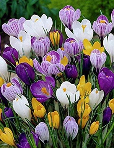 5Stücke Gemischter Safrankrokus Glühbirnen Schöne winterharte mehrjährige Krokusblume Zwiebeln fallen blühend frische Zwiebeln für Garten pflanzung