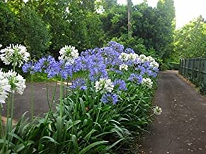 NEW! 25+ AGAPANTHUS WHITE & PURPLE MIX LILY OF THE NILE FLOWER SEEDS / PERENNIAL