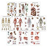 "10 Pack - Anatomical Poster Set - Laminated - Muscular, Skeletal, Digestive, Respiratory, Circulatory, Endocrine, Lymphatic, Male & Female Reproductive, Nervous System, Anatomy Chart Set - 18"" x 27"""