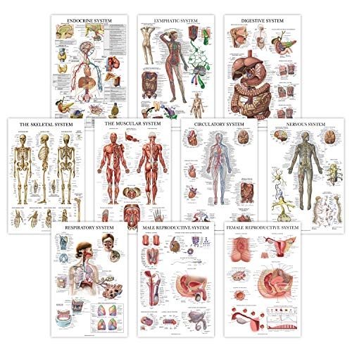 """10 Pack - Anatomical Poster Set - Laminated - Muscular, Skeletal, Digestive, Respiratory, Circulatory, Endocrine, Lymphatic, Male & Female Reproductive, Nervous System, Anatomy Chart Set - 18"""" x 27"""""""