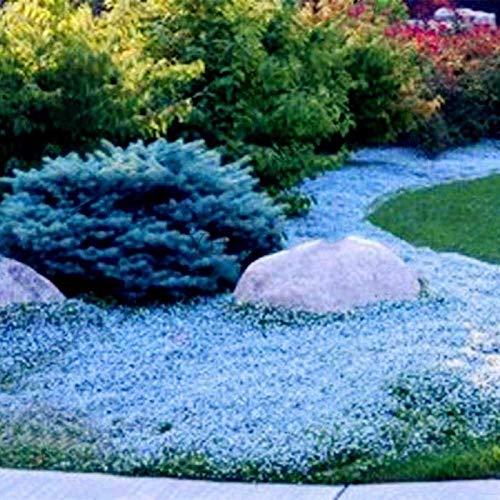 yanbirdfx Blumen Samen für Garten und Balkon-300 Stück Garten Bodendecker Teppich Staudenblume Pflanze Dekor Rock Cress Seeds - Hellblaue Cress Seeds