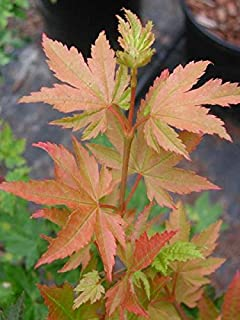 DELS DWARF OREGON VINE MAPLE - A DWARF SELECTION OF OUR NATIVE VINE MAPLE - 1 - YEAR PLANT