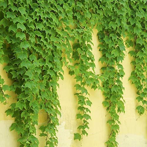 GEESENSS 4 Farben Colorato giallo rosso verde blu edera rampicante semi anti radiazioni piante da giardino arredamento esterno