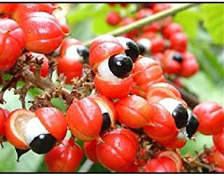 Seeds Guarana Paullinia Cupana Shrub Vine Get 10 Seeds #LC01YN