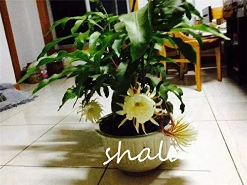 SANHOC 50pcs Epiphyllum Bonsai Hausgarten-Blumen Mehrjährige Pflanzen Easy Care Outdoor & Indoor Pflanzen Freies Verschiffen: 11