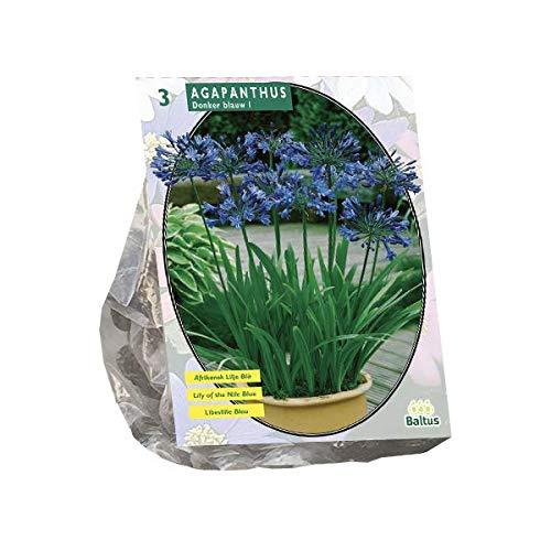Agapanthus | Afrikanische Schmucklilie | Blumenzwiebeln/Rhizome | 3 Stk | Blau | Sommerblüher