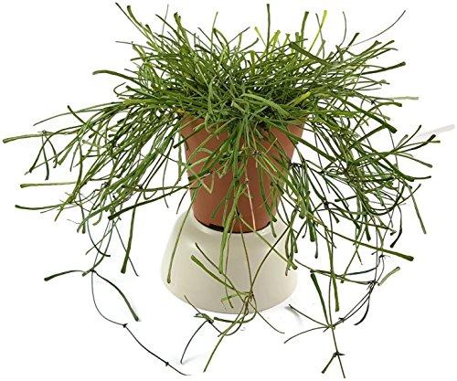 Hoya Retusta - wunderschöne hängende Zimmerpflanze ebenso Wachsblume oder Porzellanblume genannt - pflegeleichte Pflanze für das Wohnzimmer mit weißen Blüten