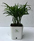 The Bonsai Plants Chamaedorea Mini Palm For Tabletop Indoor Live Plant In White