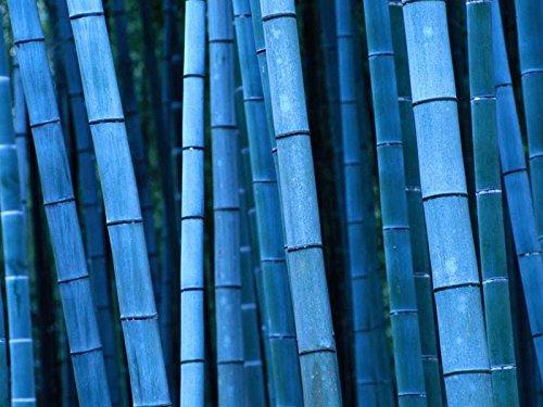50 graines de bambou rares graines de Bambu de bambou Moso noir géant paquet professionnel graines d'arbres Bambusa Lako pour le jardin à la maison multicolor