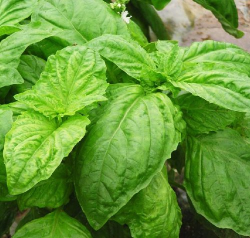 3 paquets de Sweet Basil Seed / Pack 1 50 Graines Ocimun Gralissimum feuilles de basilic Plantes aromatiques D008
