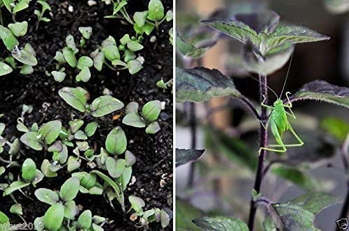 Holy Basil High quality new Max 68% OFF Seeds RED Leaf Native Tulsi Known to Herb India As