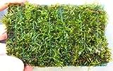 Mühlan Wasserpflanzen Javamoosmatte 21x14 cm, Javamoos, Moos,...