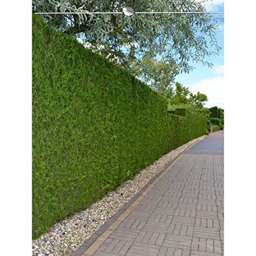 Lebensbaum Thuja Brabant 200-225 cm. Angebot: 5-100 Heckenpflanzen. Thuja occidentalis Brabant. Thuja: Winterhart, Immergrün & Pflegeleicht. Thuja Hecke als grüner Sichtschutz Zaun | Inkl. Versand