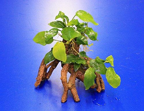 WFW wasserflora Goldene Speerblatt-Mangrovenwurzel mit Höhle/Mangrovenbaum mit Anubia Nana Gold