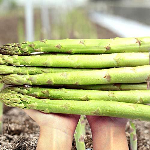 【指定日不可】北海道産 極太 グリーンアスパラ 1kg (2L〜3Lサイズ) 旬 新鮮 野菜 アスパラ アスパラガス 北海道 お取り寄せ