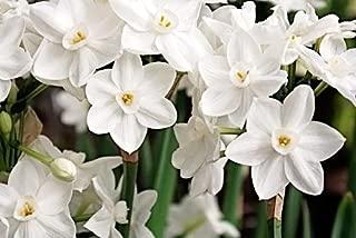 Ziva Paperwhites 13-15cm- Indoor Narcissus: Tazetta: Nice, Healthy Bulbs (Pack of 10)