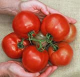 10 Cobra Tomato Seeds, A premier greenhouse tomato.Very productive