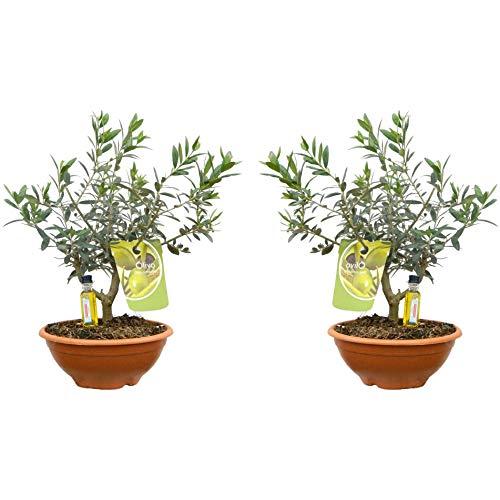 Árboles de Botanicly – 2 × Olivo espiral – Altura: 35 cm – Olea Europaea
