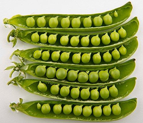 50 GREEN ARROW PEA Heirloom décorticage English PISUM Graines de légumes