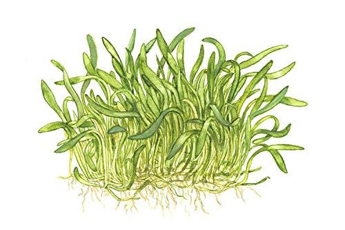 Mühlan Wasserpflanzen 3 Bunde Neuseelandgras, Rasen im Aquarium