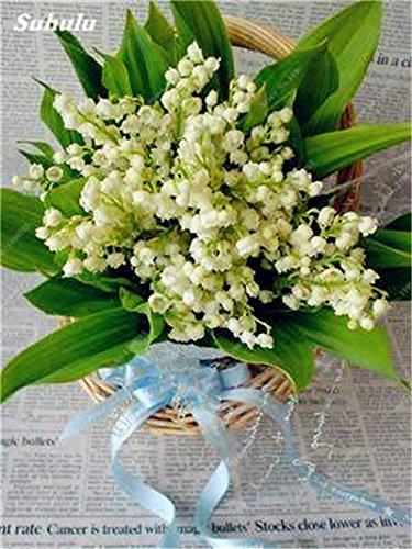 120 Pcs Campanula Graines Bonsai belle variété de fleur complète, le bourgeonnement Taux 95% Bellflower Plantes ornementales Livraison gratuite 10