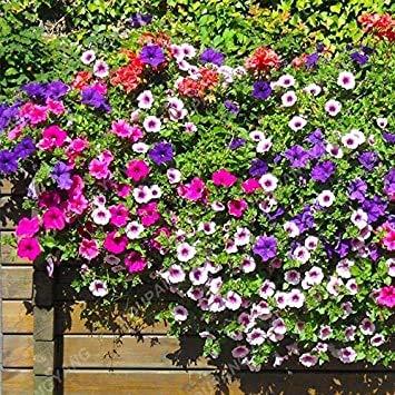 200pcs Bonsai couleurs mélangées Petunia Seeds belles fleurs pour jardin Plantes Bonsai Pétunia Graines de fleurs Facile à cultiver des plantes blanches