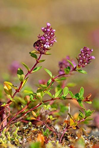 Asklepios-seeds® - 20000 Samen Thymus pulegioides, auch Gemeiner/Breitblättriger Thymian, Quendel, Arznei- oder Feld-Thymian