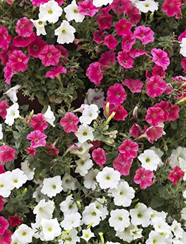 100+ Lavatera Mallow Flower Seeds Non-GMO, Heirloom Bonsai Plant