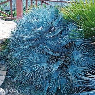 AIMADO Samen-100 Pcs Winterharte Blaue Zwerg-Palmen Saatgut,mehrjährig palmesamen bonsai Baum Samen für Garten