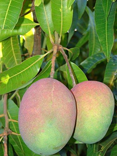 Árboles de hoja verde ® mango (Mangifera indica) 2 Semillas