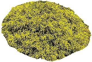 Gold Mop Weeping Threadleaf Cypress - Live Plant - Quart Pot