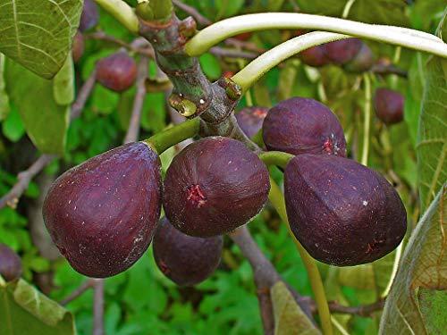 Blaue Pfälzer Fruchtfeige Ficus carica 'Brown Turkey' Pflanze 25-30cm Feigenbaum