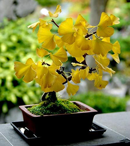 AchmadAnam _ (Home & Garden) | Ginkgo BILOBA, Maidenhair Tree Bonsai 100 Count (Tree-Plants)