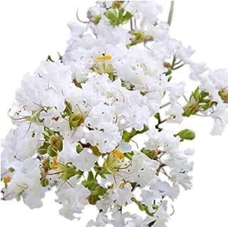 Natchez Crape Myrtle Seeds UPC 600188196412 + 2 Free Plant Markers (150)