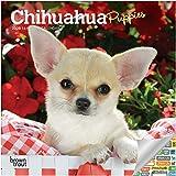 Chihuahua Puppies Calendar 202...
