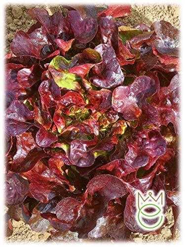Laitue frisée rouge Lactuca sativa Graines Graines Légumes Potager