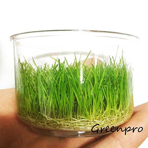 Greenpro Dwarf Hairgrass Live Aquarium Plants Tissue Culture Cup Freshwater Fish Tank Decorations