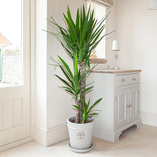 YouGarden elephantipes Yucca 3 stem 90/45/20cm in 24cm Pot 1.3m Tall