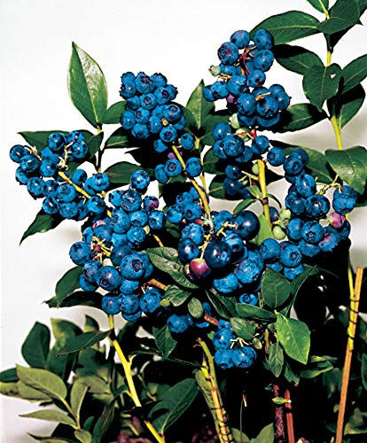 Vaccinium corymbosum'Sunshine Blue' |...