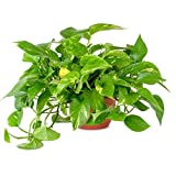 American Plant Exchange Golden Pothos Indoor/Outdoor Air Purifier Live Plant, 6' Pot