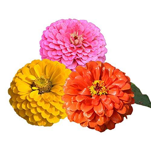 promworld Blumensamen für Garten Balkon,Blüten Saatgut mehrjährig,Zinnia Samen Pflanzensamen Indoor Flower Sea Landscape-High/red_500g