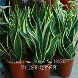 50hochwertige Bogenhanf Samen Zimmerpflanzen Strahlung Schutz Bonsai Samen SEHR einfach Grow Blattwerk Pflanzen
